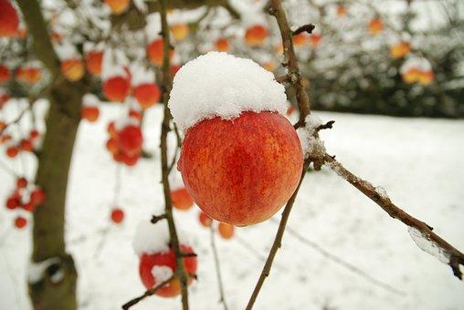 Apple, Winter, Snow, Frost, Wintry, Snowed In