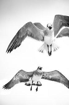 Gulls, Flying, Bird, Wildlife, Seagull, Ornithology