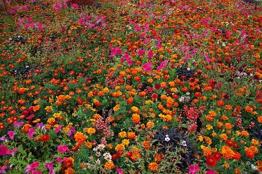 Tagetes, Flowers, Blossom, Bloom, Summer Flower, Orange