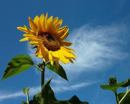 Sun Flower, Summer, Yellow, Plant, Blossom, Bloom