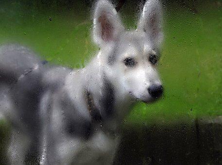 Rain, Wet, Dog, Drip, Dog Look, Bitch, Puppy, Wolf Dog