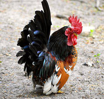 Hahn, Dwarf Cock, Small, Colorful, Color, Animal