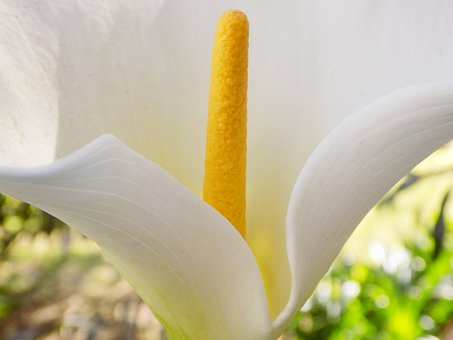 Lilly, Flower, White Flower