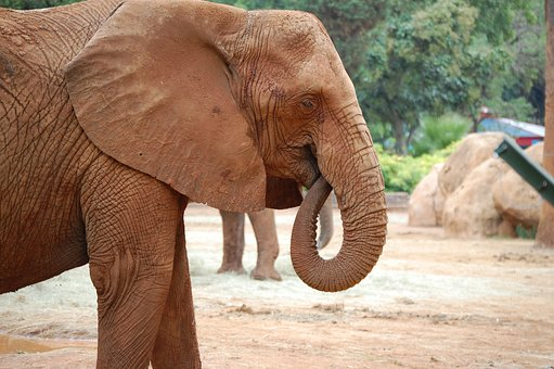 Elephant, Head, Trunk, Tusk, Wildlife, Zoo, Animal