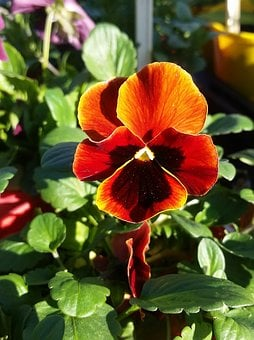 Pansy, Flower, Plant, Horticulture, Flora