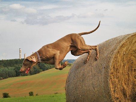 Dog, Weimaraner, Hunting, Hunting Dog, Jump, Hay