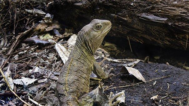 Lizard, Iguana, Reptile, Wild Animal, Creature, Nature