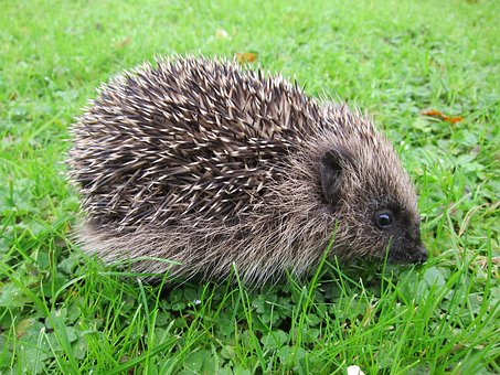 Hedgehog, Baby, Young, Mammal, Animal, Rodent, Nature