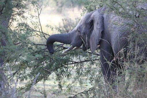 Elephant, Africa, Safari, Wildlife, Nature, Mammal