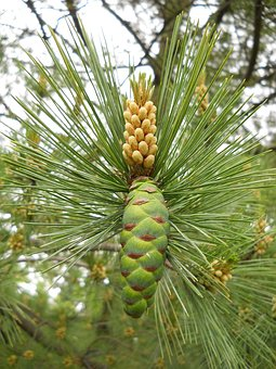 Pine Cone, Nature, Summer, Abies, Macro, Needles, Tree