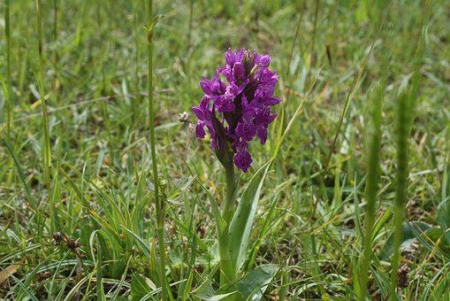 Green-winged, Purple, Orchid, Green-veined