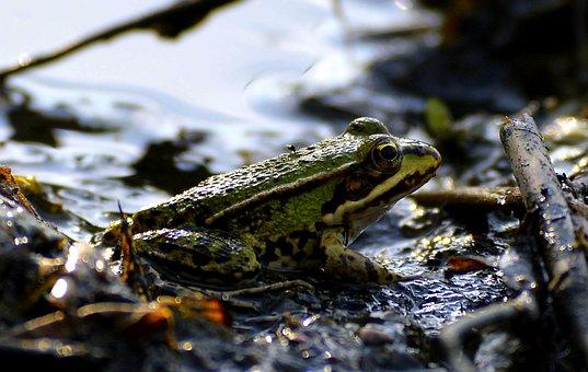 Mud, Pools, Frog, Bank, Green, Lake, Bach, Mud Pit