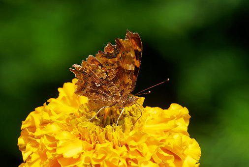 Butterflies, Robert-the-devil, Insect, Lepidoptera