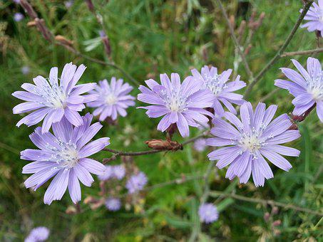 Flowers, Chicory, Purple, Petals, Stalks, Grass, Macro