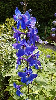 Garden, Plant, Larkspur, Blue, Summer, Close