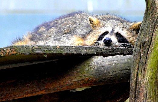 Raccoon, Sweet, Animal World, Furry, Wild Animal