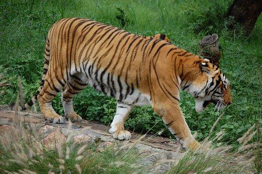 Tiger, Stripe, Endangered, Wildlife, Mammal, Carnivore