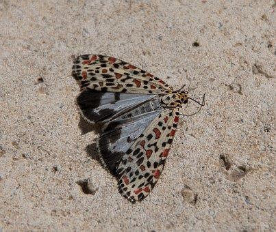 Moth, Heliotrope Moth, Utetheisa Pulchelloides, Large