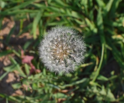 Dandelion Head, Seeds, Plant, Summer, Nature, Weed