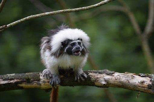 Cottontop Tamarin, Monkey, Wild Animal, Serengeti Park