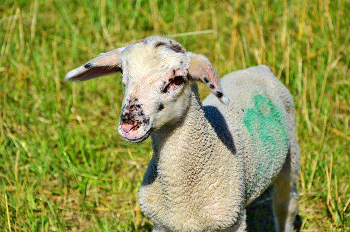 Sheep, Schäfchen, Livestock, Flock Of Sheep, Wool