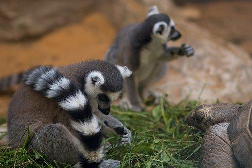 Lemur, Turtle, Pilsen Zoo, Food, Nature, Animal, Grass