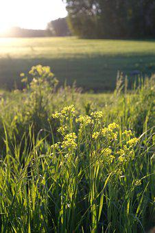 Sunset, Sun, Landscape, Barbarea Vulgaris, Yellow