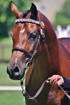 Arabian, Stallion, Bay, Pony, Bridle, Bit, Horse