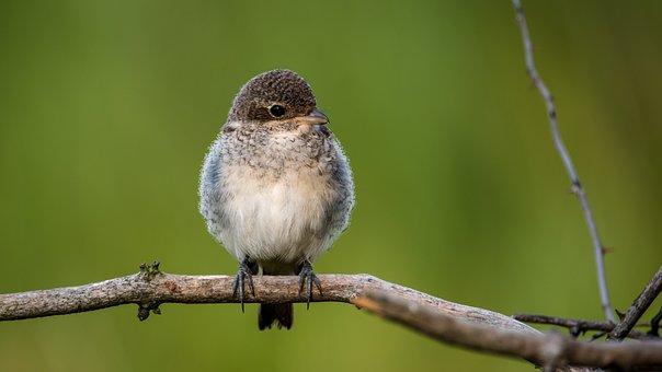 Shrike General, Cub, Bird, Fly, Nature