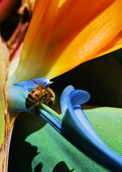 Bee, Bird Of Paradise, Insect, Nature, Tropical, Bug