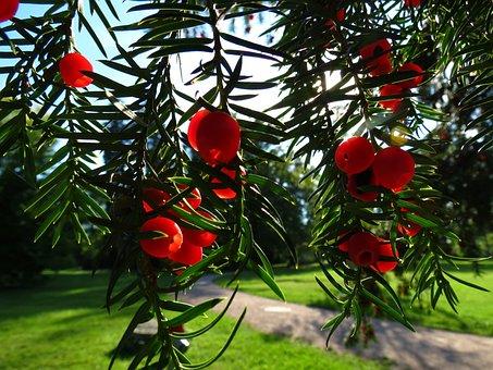 Yew, Conifer, European Yew, Poisonous Plant, Yew Fruit