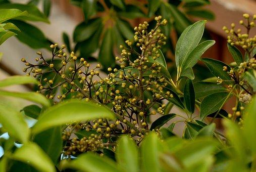 Flowers, Schefflera Arboricola, šeflera