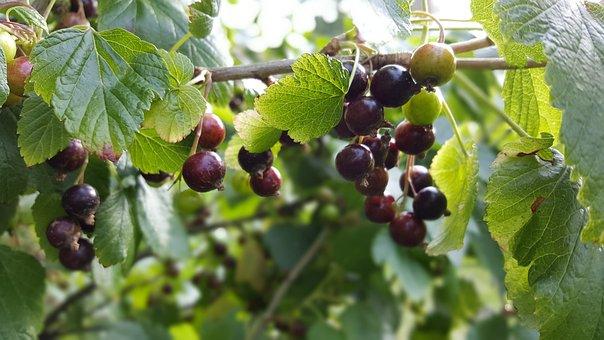 Currant, Plant, Food, Garden, Bush, Fruit, Summer