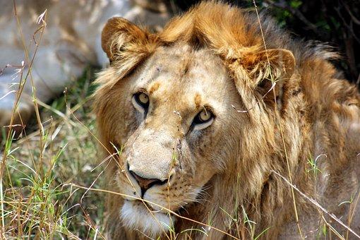 Kenya, Masai, Mara, Lion
