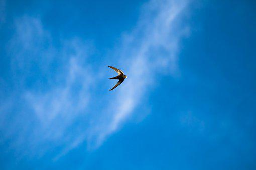 Schwalbe, Bird, Air, Freedom, Sky, Clouds, Nature, Blue