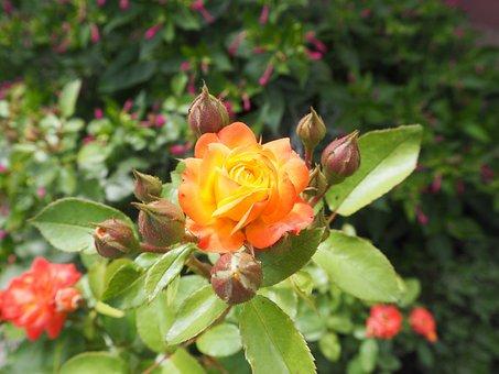Rose, Bush, Romance, Garden, Nature, Plant, Flower