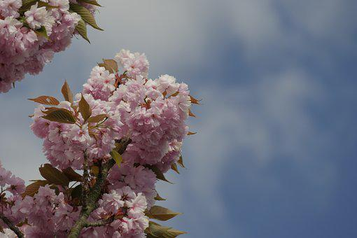Ornamental Cherry, Flowers, Japanese Cherry Trees