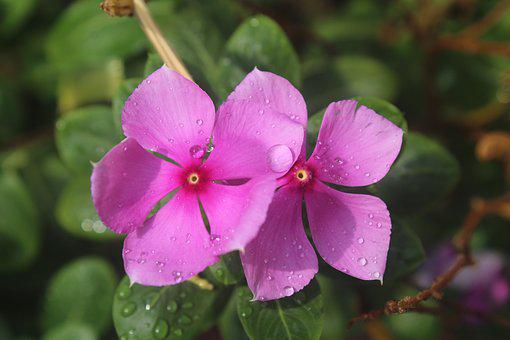 Perivincle, Flower, Rain, Post-rain Shower, Pink
