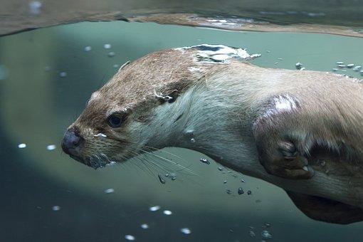 Otter, Pilsen Zoo, Animal, Swim, Water, Mammal
