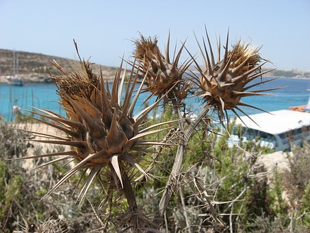 Malta, The Blue Grotto, Hot, Dry, Plant, Summer