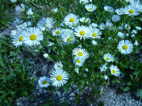 Flower, Aster, Nature, Small Pollinated, White