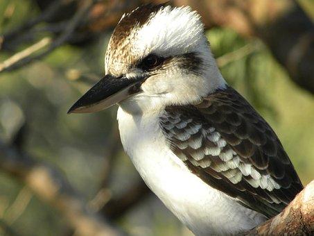 Laughing Kookaburra, Dacelo Novaeguineae, Birds