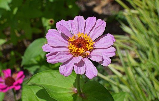 Mauve-pink Zinnia, Flower, Blossom, Bloom, Plant