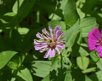 Mauve-pink Zinnia Opening, Flower, Blossom, Bloom