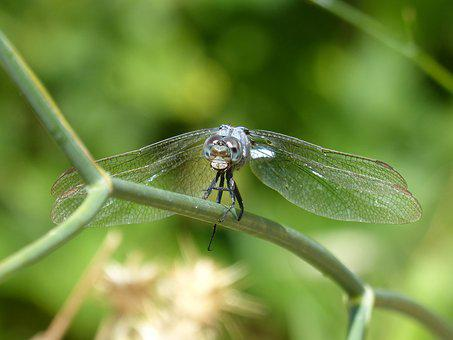 Libélul, Dragonfly Aul, Front View, Eyes Compounds