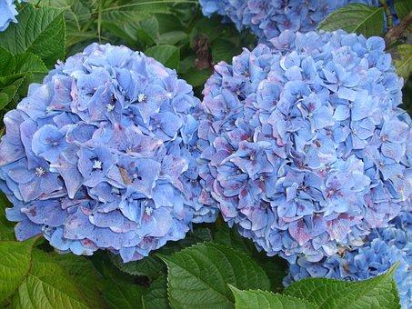 Hydrangeas, Flowers, Blue