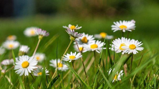 Daisy, Garden, Green, Plant, Flower, White, Spring
