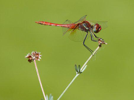 Red Dragonfly, Branch, Greenery, Sympetrum Fonscolombii