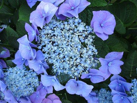 Hydrangea, Hydrangea Flower, Inflorescence