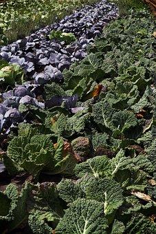 Savoy, Kohl, Herb, Vegetables, Arable, Field